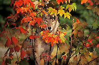 Gray Wolf hiding behind maple tree.  Fall.  Great Lakes region.