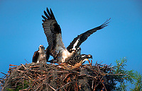 A male and female Osprey in feed their young in their nest.