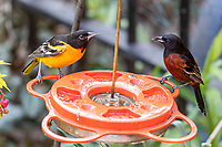 Baltimore and Orchard Oriole on Feeder