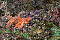 Ochre Sea Stars and green anemone cling to rock face at low tide, Pacific Ocean coastline, Oregon.