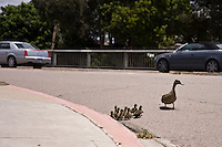 Pacific Beach, Califronia, USA.  Saturday, June 6 2009.  A mother duck checks traffic on Balboa Avenue near Mission Bay Drive as her ten ducklings look on.  The family managed to make a miraculous crossing of four lanes of heavy traffic to get to the water on the other side.  A passing motorist stopped and made sure that the traffic was aware of their prescence.
