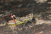 Zweifleckiger Grashüpfer, Weibchen, Chorthippus binotatus binotatus, Red-legged Grasshopper, female, Criquet des Ajoncs