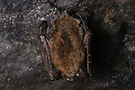 Little Brown Myotis (Myotis lucifugus) heavily infected by white-nose syndrome hibernating in a mine. This bat is showing white fungus on the wing and tail membranes and the face as well as other pussy infected areas. Essex County, New York. March.