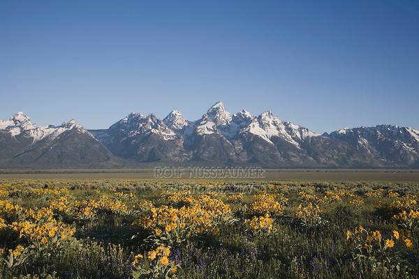 Arrowleaf Balsamroot (Balsamorhiza sagittata) and teton range, Antelope Flats, Grand Teton National Park, Wyoming, USA