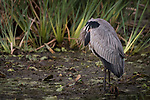 Damon, Texas; a solitary, Great Blue Heron tucking its head into its wings while standing amongst the reeds in the middle of the slough at twilight