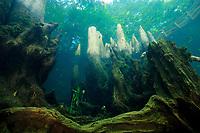 Bald cypress, Taxodium distichum, Morrison Springs, Walton County, Florida
