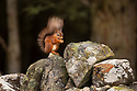Red Squirrel (Sciurus vulgaris) on dry stone wall. Aigas Field Centre, Scottish Highlands. Scotland. October. (baited with nuts).