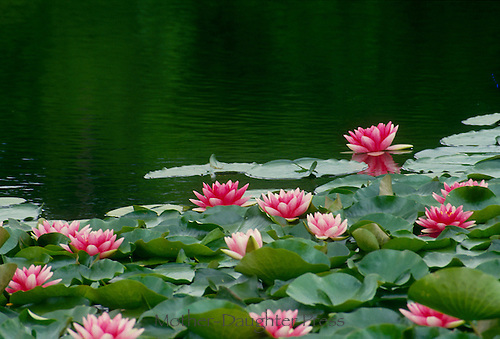 Blooming pink water lilies (Nymphaeaceae) float on the surface of a quiet pond in summer