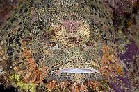 Tasseled Scorpionfish, Scorpaenopsis oxycephala, Mabul Island, Malaysia.