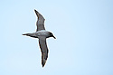 Light-mantled Albatross (Phoebetria palpebrata)