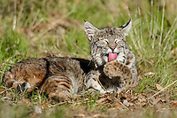 Wild Bobcat (Lynx rufus) in Central California's oak woodlands grooming paw.  December.  (Completely wild, non-captive cat.)