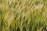 Barley grain, Delta Junction, Alaska.