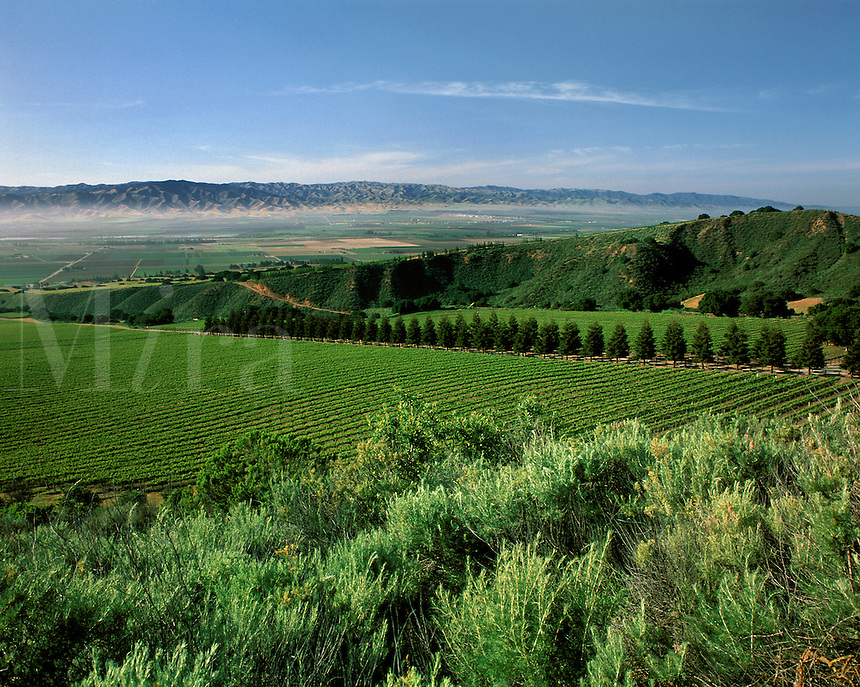 WINE GRAPEVINES in MONTEREY COUNTY VINEYARD near SANTA LUCIA HIGHLANDS - SALINAS VALLEY, MONTEREY COUNTY, CALIFORNIA.