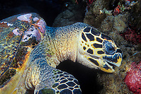 A Hawksbill Turtle, Eretmochelys imbricata, feeding on coralimorphs. Similan Islands Marine National Park, Thailand, Andaman Sea