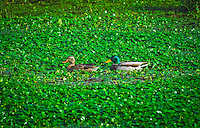 Male and female mallards swim in a sea of green watercress at Pt. Reyes National Seashore.