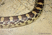 0519-1111  Gopher Snake (Pine Snake, Bull Snake), North American, Pituophis catenifer  © David Kuhn/Dwight Kuhn Photography