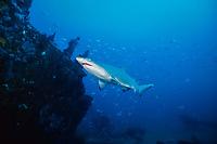 sand tiger shark, Carcharias taurus (formerly Odontaspis/ Eugomphodus) wreck of the Caribsea, N. Carolina, Atlantic Ocean