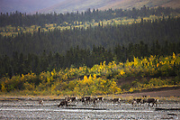 Caribou migrate along the Toklat river, Denali National Park, Interior, Alaska.