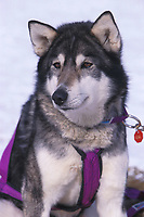 D Sawatzky's Dog Rests Grayling 99 Iditarod AK