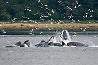 "a group of seven adult humpback whales, Megaptera novaeangliae, co-operatively ""bubble-net"" feeding, Tenakee Inlet, Chichagof Island, Alaska, USA, Pacific Ocean"