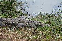 Saltwater Crocodile, out of the 23 extant crocodile species in the world, two species, the Saltwater and the Mugger or Marsh crocodile (Crocodylus palustris) inhabit Sri Lanka