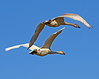 Adult and immature trumpeter swans