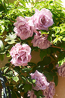 Roses in the garden, in faded violet Clos des Iles Le Brusc Six Fours Cote d'Azur Var France