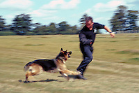 Police officer dog handler training a police alsatian. The dog is learning to chase an offender and bring him down by grabbing hold of his arm. The officer is wearing a padded sleave to allow the dog to bite his arm. This image may only be used to portray the subject in a positive manner..©shoutpictures.com..john@shoutpictures.com