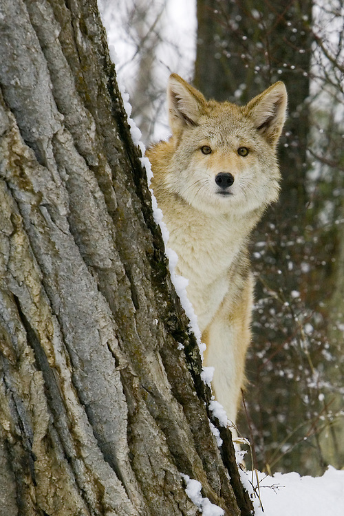 Coyote peeking out from behind a snowy tree - CA