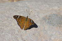 Empress leilia butterfly, Asterocampa leilia. Organ Pipe Cactus National Monument, Arizona.