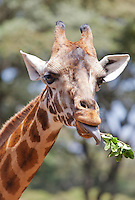 Female giraffe (Giraffa camelopardalis) at the African Fund for Endangered Wildlife Kenya (A.F.E.W Kenya Ltd), Nairobi.  Coming eye to eye with an adult giraffe is an experience not to be forgotten!