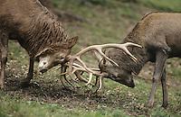 Rothirsch, Rot-Hirsch, Rotwild, Edelwild, Edelhirsch, Hirsch, Männchen beim Kampf mit dem Geweih, Brunft, Cervus elaphus, red deer