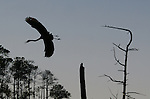 A great blue heron (Ardea herodias) takes off in the marsh at Blackwater National Wildlife Refuge on Maryland's Eastern Shore.