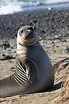 Elephant seal weaner. FB 379