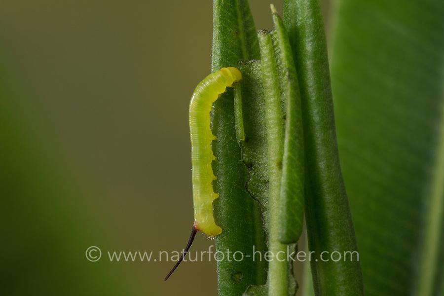 Oleanderschwärmer, Oleander-Schwärmer, Raupe, Jungraupe, Eiraupe frisst an Oleander, Daphnis nerii, Deilephila nerii, oleander hawk-moth, oleander hawkmoth, army green moth, caterpillar, Le Sphinx du laurier-rose. Schwärmer, Sphingidae, hawkmoths, hawk moths, sphinx moths, sphinx moth, hawk-moths, hawkmoth