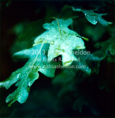 Oak tree leaf<br />