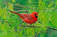 Male Northern Cardinal (Cardinalis cardinalis) sitting in bush.  Spring.