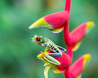 red-eyed treefrog, Agalychnis callidryas, on hanging lobster claw, or false bird of paradise, Heliconia rostrata, in rainforest, Costa Rica