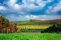 Rows of fall colored grapes. Vineyards of Napa Valley, California Sky added