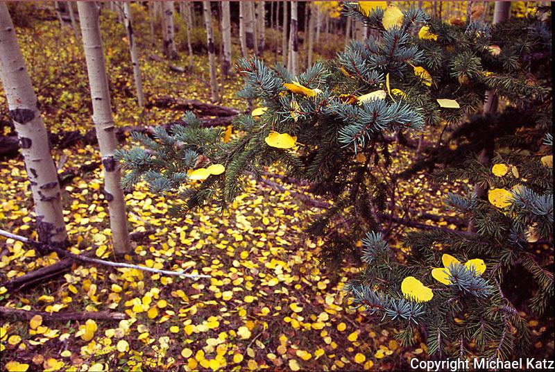 Aspen and pines, near Ouray, Colorado