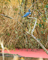 A Belted Kingfisher (Ceryle alcyon) is perched on a branch over a pond with red algae (azolla) and grass in the background facing towards the viewer in the Ridgefield National Wildlife Refuge