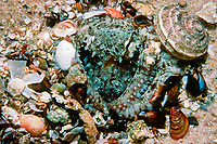 common Sydney octopus, Octopus tetricus, in its den surrounded by empty shells that it has fed on, Marmion, West Australia