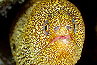 goldentail moray, Gymnothorax miliaris, Bonaire, Netherlands Antilles, Caribbean Sea, Atlantic Ocean