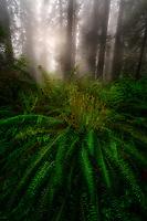 Morning fog in Redwood National Park, CA