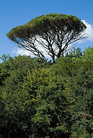 Pine tree sticking out of the lush dense growth of Landes Forest, Aquitaine, France.