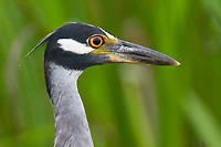 Head portrait of an adult Yellow-crowned Night-Heron (Nyctanassa violacea). Plaquemines Parish, Louisiana. July 2010.