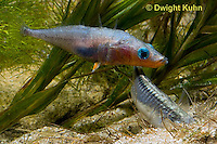 1S55-512z  Threespine Stickleback, gravid female entering male's nest to lay her eggs, Gasterosteus aculeatus, Freshwater male - Marine female