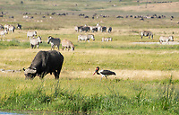 Cape Buffalo, Syncerus caffer caffer, and Saddle-billed Stork, Ephippiorhynchus senegalensis, in Ngorongoro Crater, Ngorongoro Conservation Area, Tanzania. Behind them is a herd of Grant's Zebras, Equus quagga boehmi.