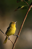 North America's smallest oriole. Published Texas Parks & Wildlife magazine, and L'Image Magazine - Nature & Wildlife Edition.