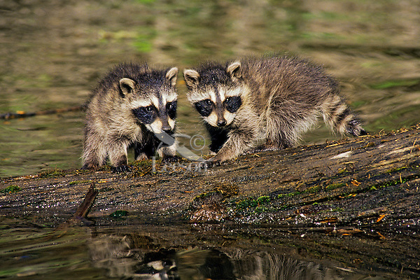 Raccoon (Procyon lotor) young cubs waiting for mom as she hunts along edge of pond.  Western U.S.